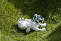 The Sony Aibo robot dog has a lie down in the grass