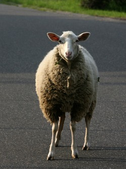 A sheep relaxes in the streets of Herschbroich
