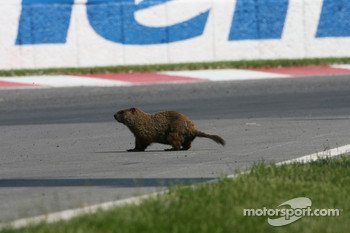 A Beaver invades the circuit