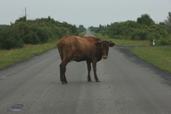 A local cow on an empty road