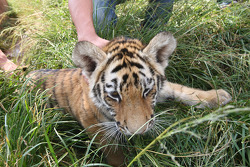 Tiger cub at the Rhino and Lion Nature Reserve