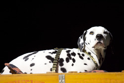 Dalmatian on the Original Budweiser Clydesdale
