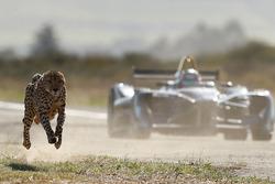 Een cheetah racet tegen een Formule E wagen