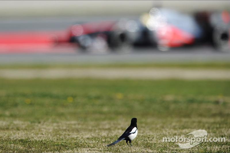 Een vogel kijkt naar Sergio Perez, McLaren MP4-28