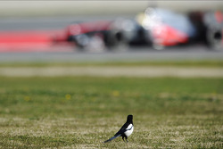 A bird watches Sergio Perez, McLaren MP4-28