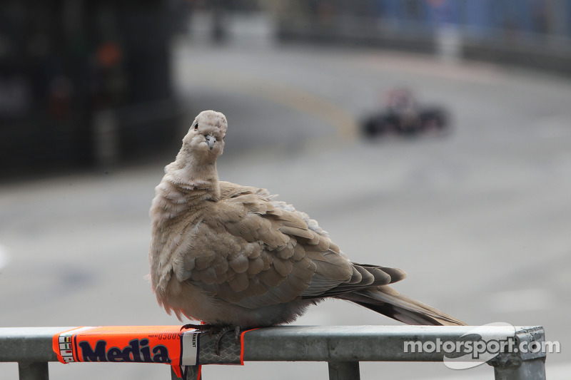 A pigeon watches the action