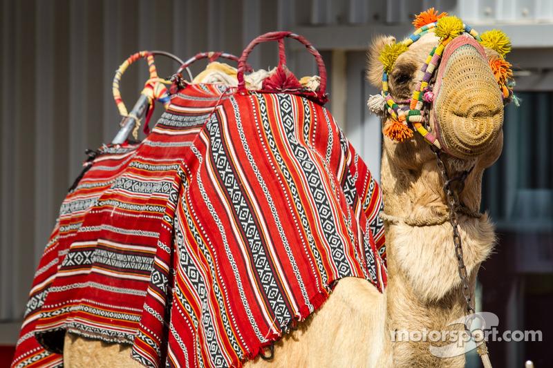 Un cammello si gode i festeggiamenti post gara