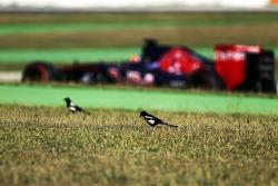 小卡洛斯·塞恩斯,红牛青年车队 STR10通过时草地上的鸟